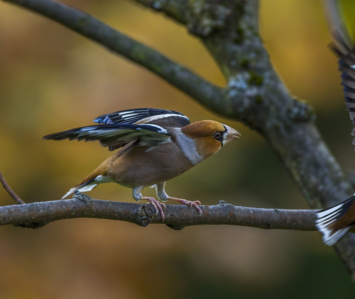 angry hawfinch 2