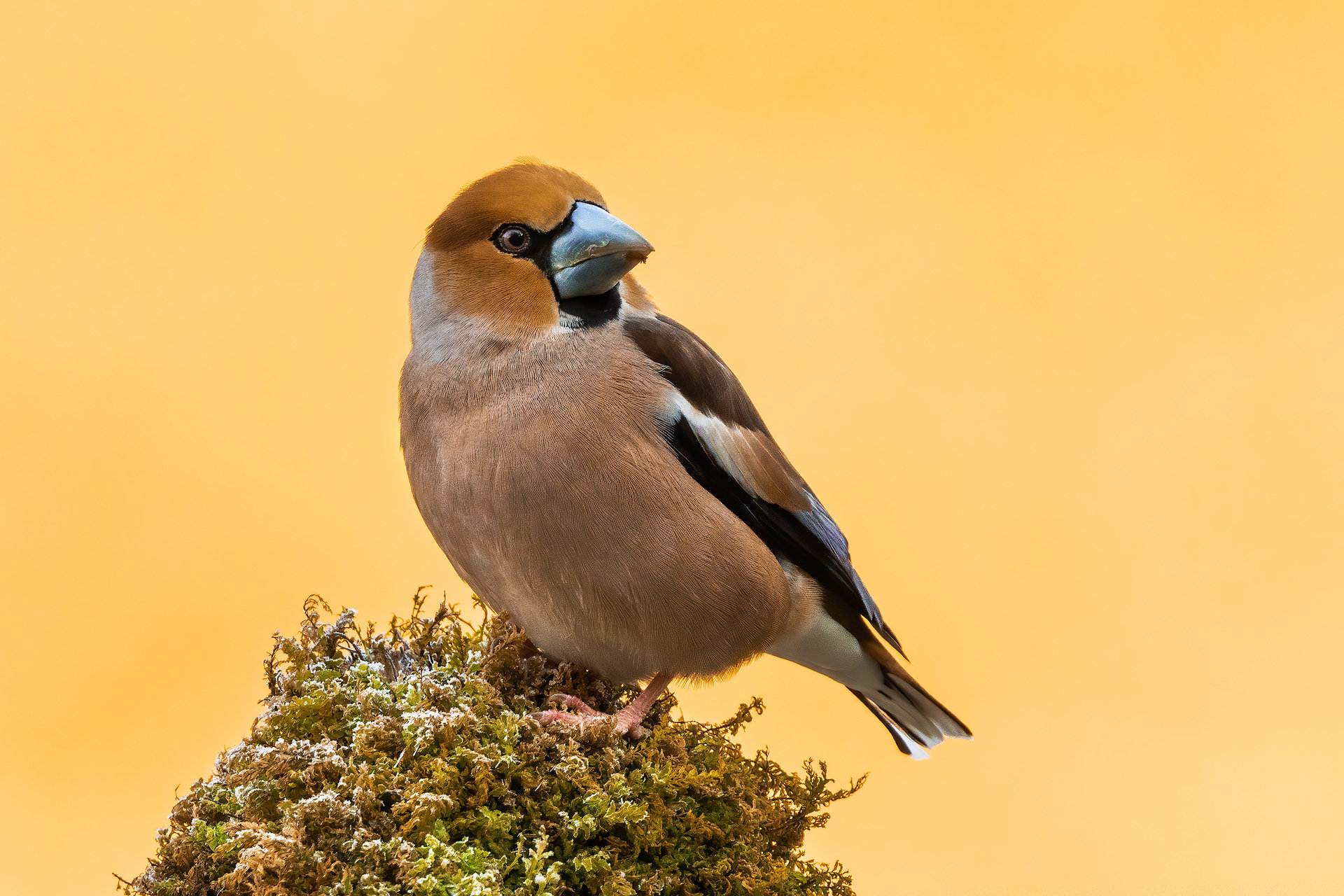 Dlesk (Coccothraustes coccothraustes)